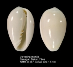 Volvarina monilis