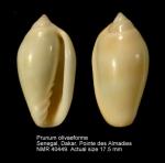 Prunum olivaeforme