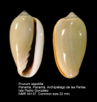 Prunum sapotilla