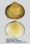 Leporimetis obesa
