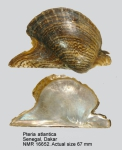 Pteria colymbus
