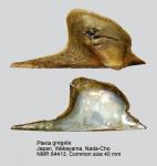 Pteria gregata
