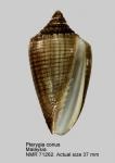 Pterygia conus