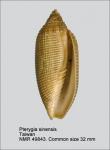 Pterygia sinensis