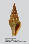 Ptychobela griffithii