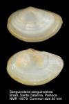 Psammobiidae