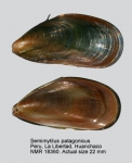 Semimytilus algosus