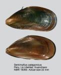 Semimytilus algosus