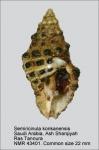 Semiricinula konkanensis