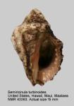 Semiricinula turbinoides
