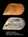 Septifer bilocularis