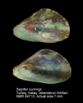 Septifer cumingii