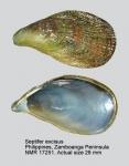 Septifer excisus