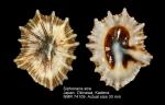 Siphonaria atra
