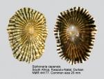 Siphonaria capensis