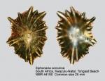 Siphonaria concinna