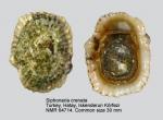 Siphonaria crenata