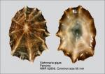 Siphonaria gigas