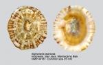 Siphonaria laciniosa