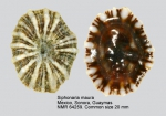 Siphonaria maura