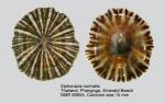 Siphonaria normalis