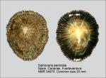 Siphonaria pectinata