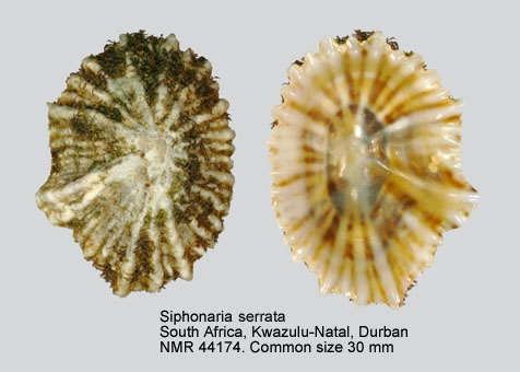 Siphonaria serrata