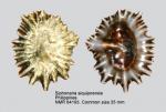 Siphonaria siquijorensis