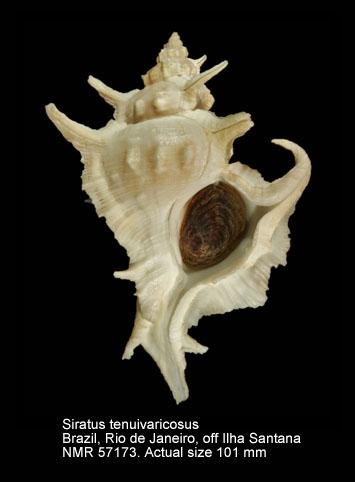 Siratus tenuivaricosus