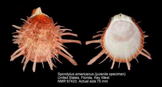Spondylus americanus