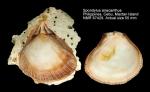 Spondylus anacanthus
