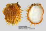 Spondylus butleri