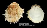 Spondylus echinatus