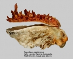 Spondylus gaederopus