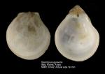 Spondylus gussonii