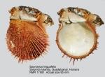 Spondylus linguafelis
