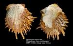 Spondylus versicolor