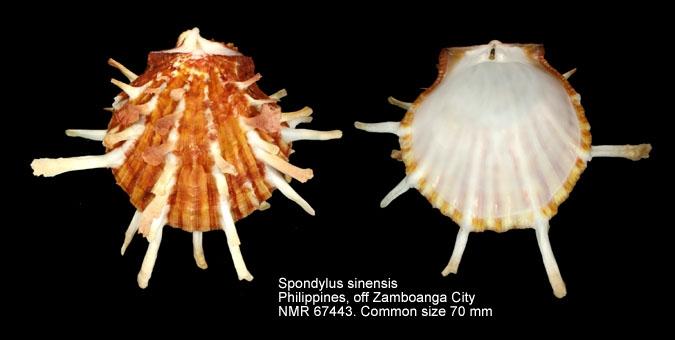 Spondylus sinensis