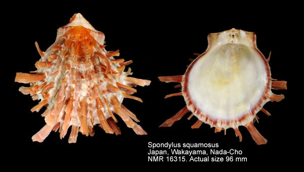 Spondylus squamosus