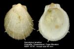 Spondylus tenellus