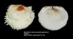 Spondylus varius