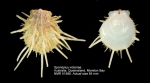Spondylus victoriae