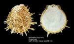 Spondylus virgineus