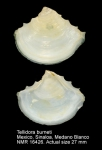 Tellidora burneti