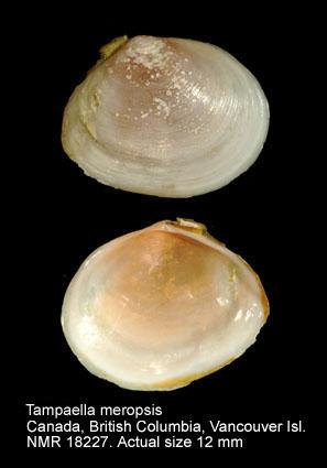 Tampaella meropsis