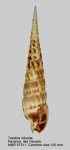 Terebra robusta