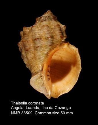Thaisella coronata