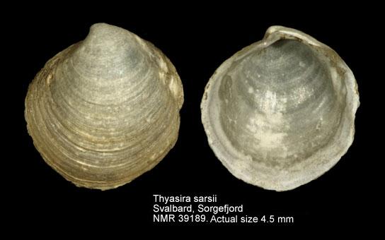 Thyasira sarsii