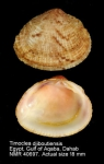 Timoclea marica