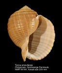 Tonna ampullacea